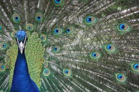 (bente) curious peacock (Small)