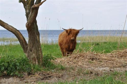 (Agnieszka) surprised cow (Small)