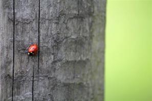(Isabel) Ladybug (Small)