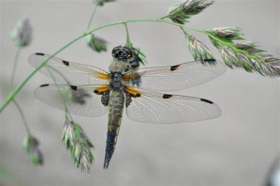 (Janneke) Dragonfly (Small)