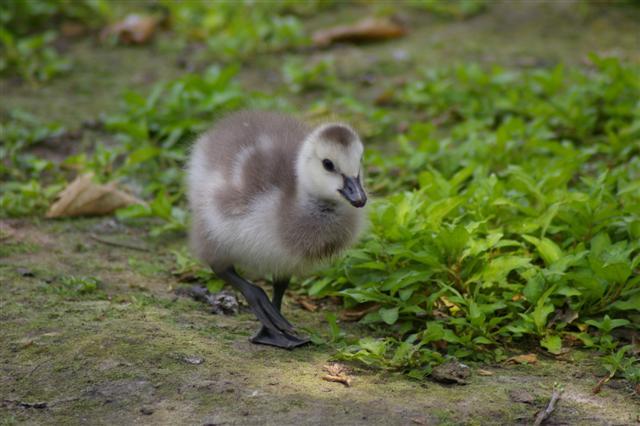 (Marc) Little Duck_1 (Small)